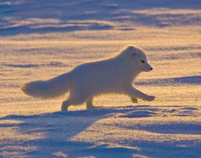 Arctic Tundra Adaptations - The Official Arctic Tundra